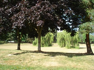 Foster Park Willow trees